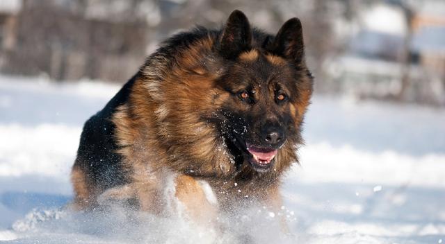 哪種犬最兇猛?兇猛惡犬