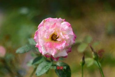 兰州苦水玫瑰