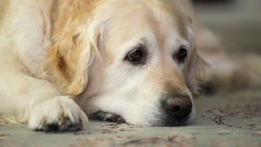 狗狗黑便的症
